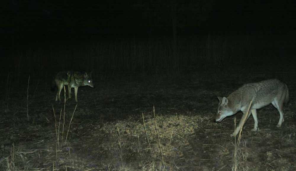how to coyote hunting at night
